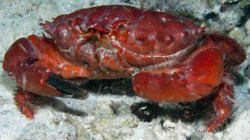 Etisus splendidus - Kepiting yang tidak boleh dimakan dan memiliki bentuk oval